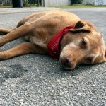 悲嘆に暮れた表情で何時間も道路に横たわる1匹の犬