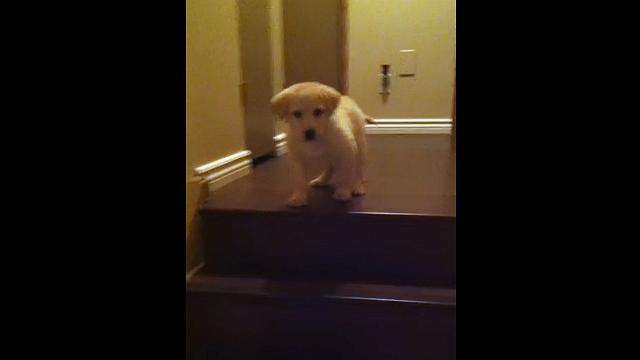 階段を怖がる子犬|エスコートする親犬が微笑ましい!