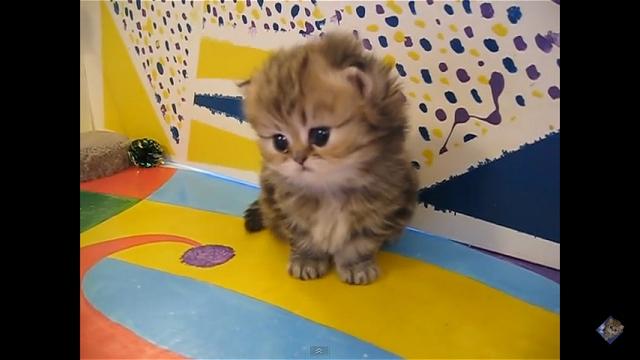 胸キュン!|可愛すぎる子猫の動画