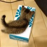 ティッシュの箱と子猫の攻防戦!