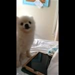 ポメラニアン|子犬のくしゃみが凄過ぎ!