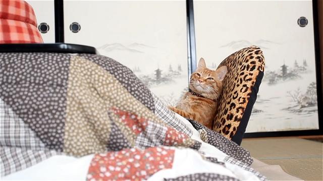日本のコタツ猫|海外の猫だとこうなる!