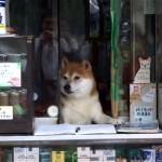 店番を引退したタバコ屋の看板犬「シバくん」