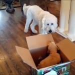 愛犬の誕生日に子犬をプレゼントした結果…