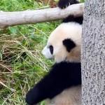 オーマイガッ!|無邪気に遊ぶパンダの赤ちゃんが…