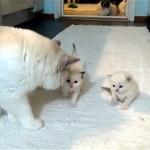 自分の子供に初めて会った父猫が見せた愛情表現に萌え~!