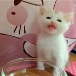 めちゃくちゃ美味しそうに水を飲む激カワ猫ちゃん