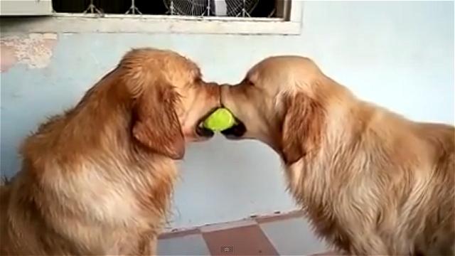 ボールを奪い合う2匹のワンちゃんを別のワンちゃんが仲裁に?(笑)