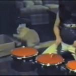 段ボールを叩くネコとドラマーの奇跡のコラボ演奏
