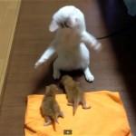 赤ちゃん猫の相手をしていて突然踊り出した猫|謎です(笑)
