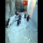 デンマーク/オーデンセ動物園でペンギンが集団脱走?