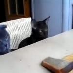 笑える!|コントのような猫コンビ vs 人間のパン争奪戦