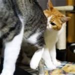 新入り猫(♀)のお尻を嗅いでみた先輩猫(♂)の反応 (笑)
