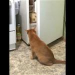冷蔵庫にお気に入りフードが入ってなかったときの猫の反応