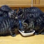 空耳アワー|美味いまいまいまい)と言いながら食事をする子猫たち