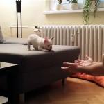 初めてジャンプに挑戦するフレンチブルの子犬が可愛すぎる!