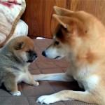 母犬にじゃれつく生後1ヶ月の柴犬の赤ちゃんに萌え~