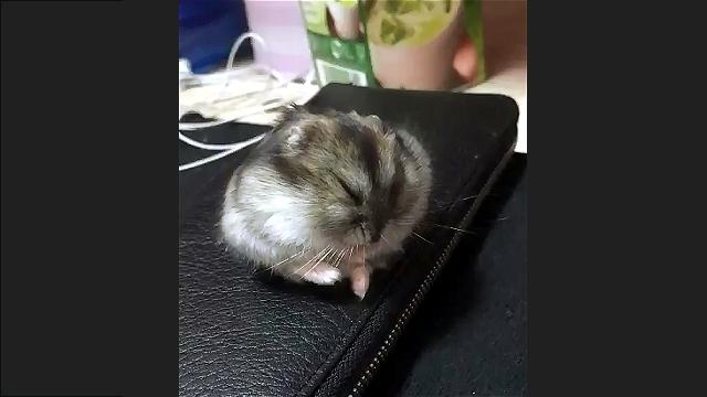【動画5秒】ハムスターが寝落ちする瞬間(爆笑)