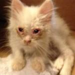 衰弱して死にそうな子猫を保護して愛情を注いだ結果、驚くほど華麗なる変身を遂げた猫 10枚