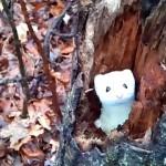 木の穴から顔を覗かせたり隠れたり…、真っ白でキュートな冬場のオコジョ