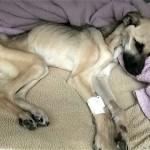 酷い虐待を受けて餓死寸前の犬に愛情と希望を与え続けた結果 20枚/動画