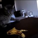 バナナを見たときの尋常でない猫の反応