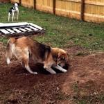 無我夢中で穴を掘り続けるワンちゃん。暫く様子を見ていたら…(笑)