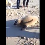 散歩中にビーチで出会った馴れ馴れし過ぎる一頭のアザラシ