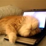 ノートパソコンから退こうとしない「ぐでたま」状態のモフモフニャンコ