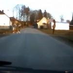 パワーあり過ぎ!|飼い主さんを散歩させているセントバーナード犬