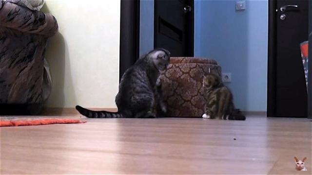 これは頼もしい!|妹猫をいつも優しくサポートする大きくて力持ちのお兄ちゃん猫