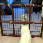 生後8週間の子猫にベビーフェンス脱出の仕方を教えるお母さん猫