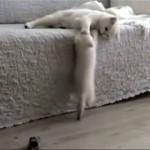 これは厳しい!|母猫の特訓に耐えながらソファをよじ登る子猫
