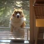 足が短くてゲートを飛び越えることが出来ないコーギー犬