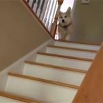 これはお見事!|コーギー犬が編み出したスムーズに階段を降りる方法