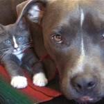 ナイスコンビ!|兄弟みたいに外見や仕草がよく似たピットブルと可愛い子猫