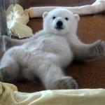 これはカワイイ!|起き上がることができず、必死にもがく北極グマの赤ちゃん