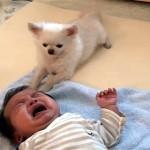 これは優しい!泣いている赤ちゃんにオヤツをあげて心配そうに見守るチワワ