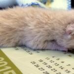後足が無くても強い意志で生きることを諦めなかった孤児の子猫 8枚