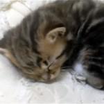 お布団の上で丸くなって寝ている子猫を手の平に乗せてみたところ…