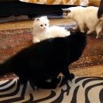 これは意外!|猫をリアルな猫型ロボットと対面させてみた結果・・・