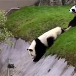 屋外で自由奔放に動き回るパンダ。時にはこんなことも…(笑)