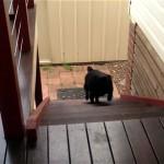 これはカワイイ!|飼い主さんに呼ばれて、嬉しそうに階段を上ってくるパグ