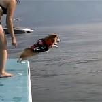 これはカワイイ!|泳ぎが得意でないコーギー犬が海に飛び込んだ結果、こうなった