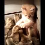 好奇心で忍び込んだヒヨコの家で大量のヒヨコに囲まれておどおどする子猫