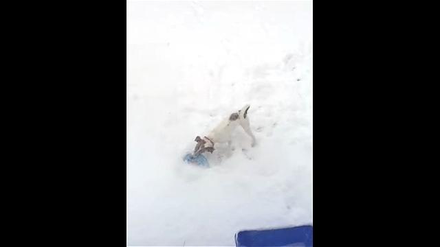 これは頼もしい!|降り積もった雪の上で遊ぶワンちゃん。きっと飼い主さんも嬉しい筈