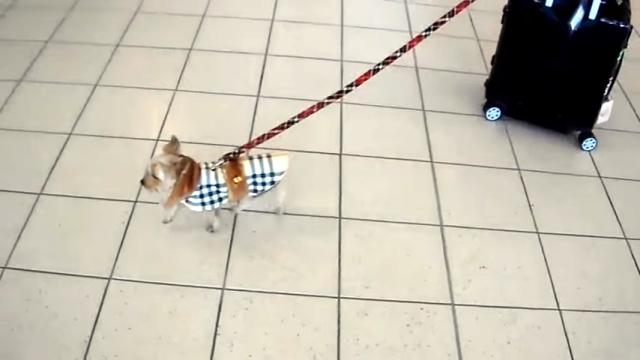 これはカワイイ!|荷物運びのお手伝いをする小さなヨークシャー・テリア犬