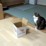 強引すぎる!|自分より小さな箱入りに挑戦するやや太目の箱好きニャンコ(笑)