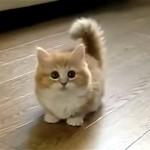 可愛すぎ!|猫じゃらしを捕らえることが出来ないモフモフ綿毛で短足の子猫