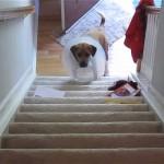 これは辛い!|エリザベスカラーが邪魔をして階段を上れないワンちゃん